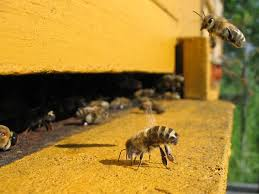colony collapse disorder wikipedia