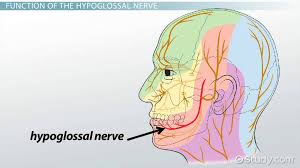 Gross Anatomy Of The Brain And Cranial Nerves Worksheet Cranial Nerves Of The Face And Mouth Motion And Sensation
