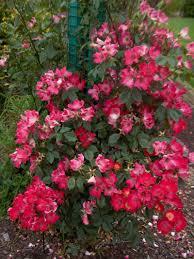 Achat Rosier Grimpant by Rosier Grimpant Petite Fleur U0027cocktail U0027 Rosier Grimpant Petite