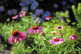 native plants of illinois gardening with native plants the focus of living landscapes