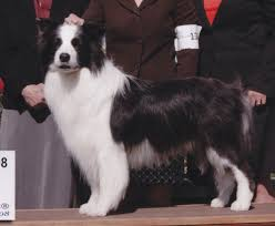 bearded collie x border collie puppies for sale 50 names for dogs with white feet pethelpful