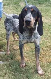 bluetick coonhound lab mix puppies for sale buckhannon wv 2 yr old 47 lbs f bluetick named tessa lewis