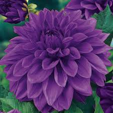 dahlias flowers lilac time dinnerplate dahlias flower power fundraising