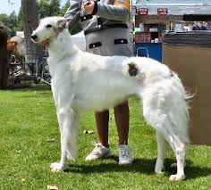 afghan hound long haired dogs borzoi jpg