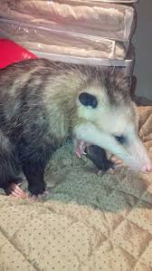 56 best chester my sweet opossum images on pinterest chester