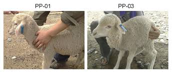 handmade cloned transgenic sheep rich in omega 3 fatty acids