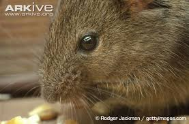 house mouse videos photos and facts mus musculus arkive