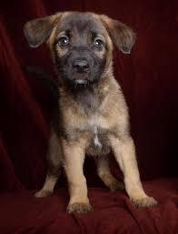 belgian shepherd malinois pronunciation adopt persephone on belgian shepherd and so cute