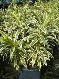 grays ornamentals growers of ornamental tropical shade plants