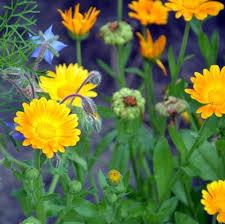 calendula flowers calendula petal powder bulk herbs and spice