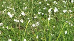 Fragrant Night Blooming Plants - fragrant night blooming silene capensis a k a african dream herb