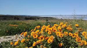 South African Wild Flowers - spring flower season in the west coast national park 2016 09 04