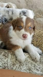 australian shepherd 8 wochen 659 best blu horizon aussies follow me on instagram and facebook