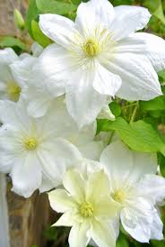 242 best clematis images on pinterest flower gardening climbing