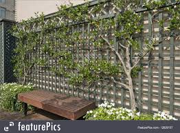 picture of espalier tree on trellis