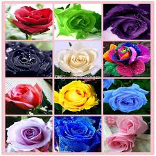 black roses for sale hot sale seeds rainbow purple black white pink yellow