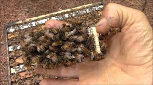 how bees behave when they don u0027t accept the new queen bee youtube