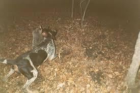 bluetick coonhound treeing coon hound or bloodhound ar15 com