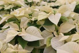 white poinsettia poinsettia white jpg