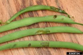 Types Of Garden Beans - beetles on my green bean plants u2013 tips on green bean beetle control