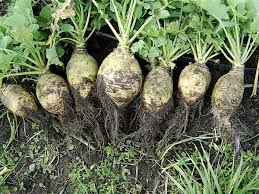 Green Root Vegetable - rutabaga wikipedia