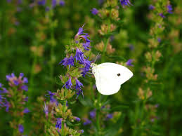 file blue flowers white butterfly forestwander jpg wikimedia commons