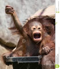 Victory Meme Face - orangutan baby with funny face stock image image of mammal