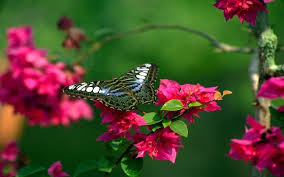 butterfly and flowers hd wallpapers