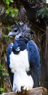 117 best harpy eagle images on pinterest harpy eagle birds of