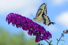best 6 perennial bushes to attract butterflies gardener s path