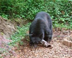 a bear comes visiting in backyard the columbian