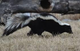 hinterland who u0027s who striped skunk