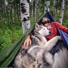 american eskimo dog cost in india man takes best friend loki the wolfdog on incredible adventures