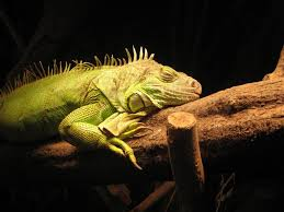 known to be an exotic pet iguana has a specific set of requirements