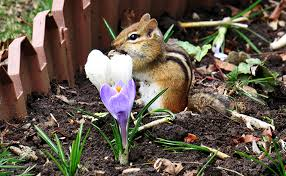 rid chipmunks garden