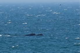 north atlantic right whale goodmorninggloucester