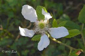 native pa plants what florida native plant is blooming today daily photo of