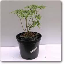 mini plants buy tagar mini plant online at nursery live best plants at