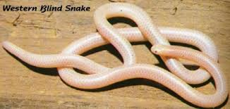 Madagascar Blind Snake Geometry Net Basic S Snakes General