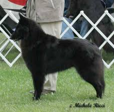 belgian sheepdog club of america national specialty indigo hill belgian sheepdogs u0026 tervuren photography