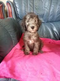 bedlington terrier stud bonzo he u0027s a 4 5 year old whippet bedlington terrier cross