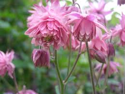 columbine plant plant growing aquilegia the guide to gardeningthe