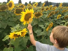 plants native to new jersey amazing places to see sunflowers in new jersey mommy university