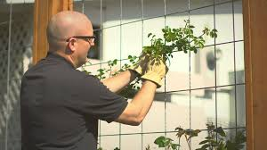 planting and training your climbing rose youtube