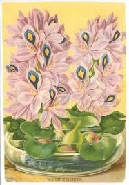 Hyacinth Flower Water Hyacinth Flower Hyacinths