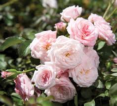 roses for sale sweet drift for sale online garden goods direct