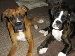 boxer dog reverse brindle reverse brindle question boxer forum boxer breed dog forums