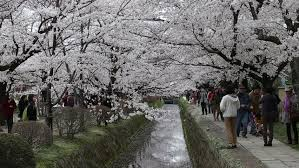 kyoto japan apr 3 cherry blossoms at the path of philosophy on
