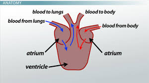 Heart Anatomy And Function Three Chambered Heart Definition U0026 Anatomy Video U0026 Lesson