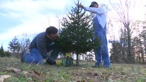 tree farms harvesting for christmas